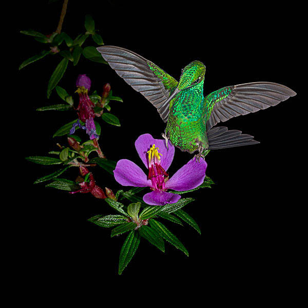A fine art photograph of a Green-crowned Brilliant hummingbird